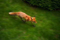 Party Fox on the run | by Goggled