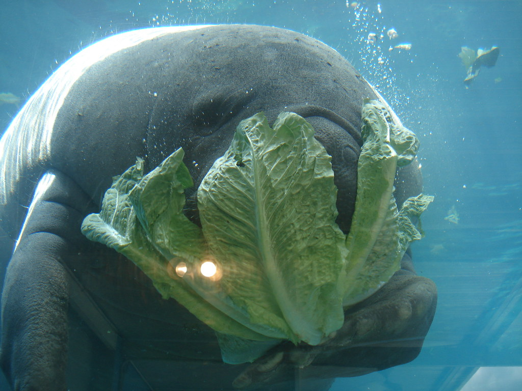manatee eating romaine lettuce mhr petography flickr