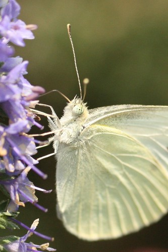 White Butterfly | by dugfotoz