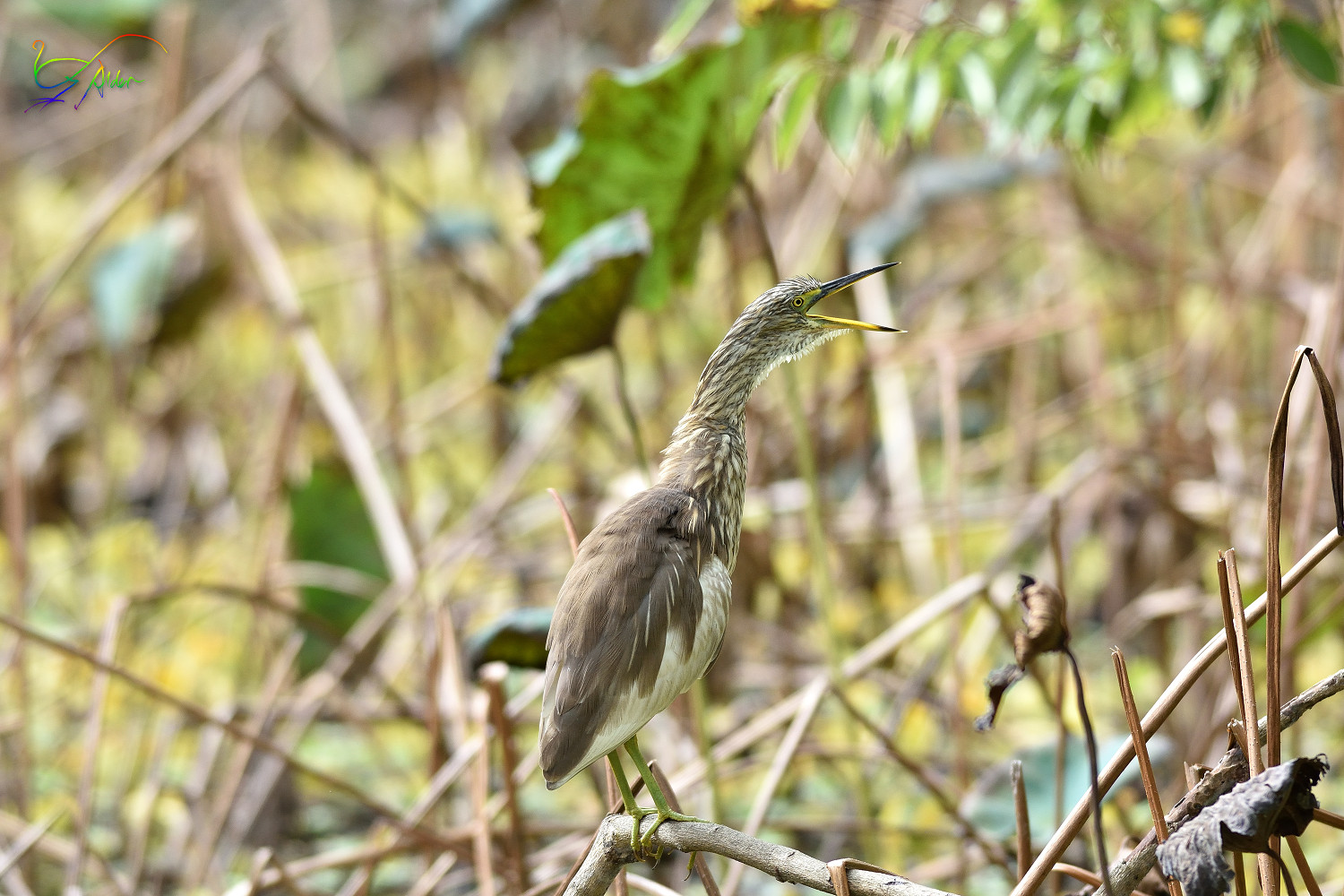 Chinese_Pond_Heron_3416