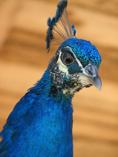 Blue Indian Peafowl | by toonbobo