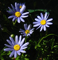 Daisy's | by thegreenqueen
