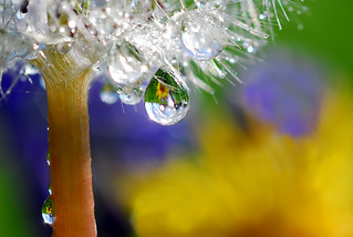 dandy drop | by Steve took it