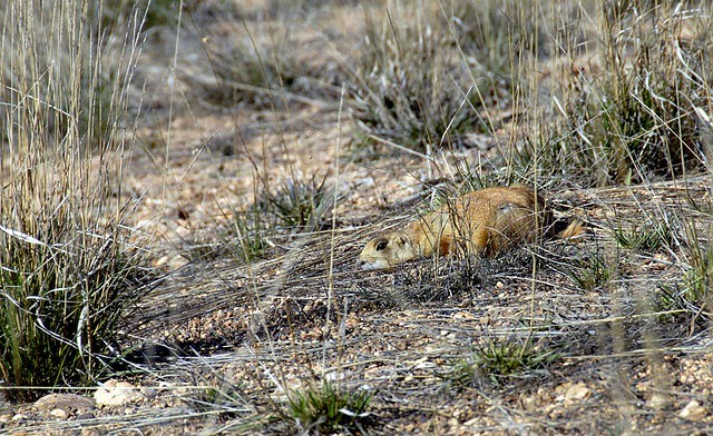 Utah Prairie Dog  He Had No Problem With Cars Whizzing By