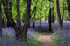 Bluebell path | by sparkleshots (trying to catch up)