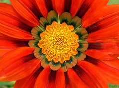gazania | by julioc.