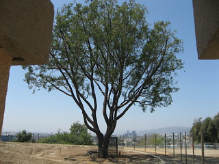 Hollyhock House tree, looking west | by Floyd B. Bariscale