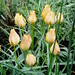 Tulip batalinii 'Bright Gem'