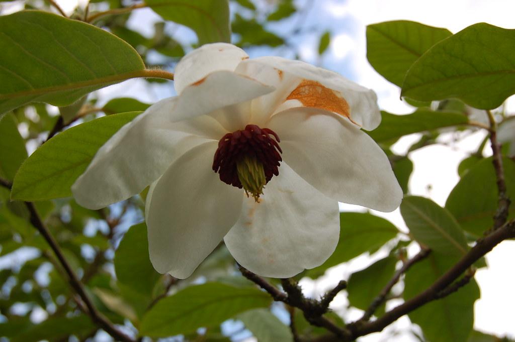 magnolia sieboldii ssp sinensis magnoliaceae. Black Bedroom Furniture Sets. Home Design Ideas