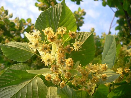 Albero di tiglio tilia platyphyllos linden tree flickr for Tiglio albero