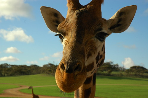 The giraffe is the only animal born with horns | by badjonni
