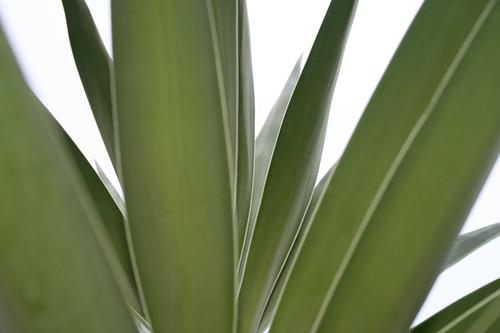Fan Like Cactus Fan-like Cactus