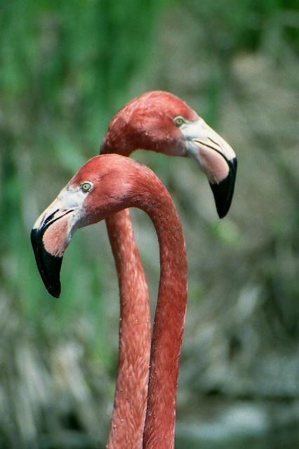 pink flamingo 1 birds - photo #36