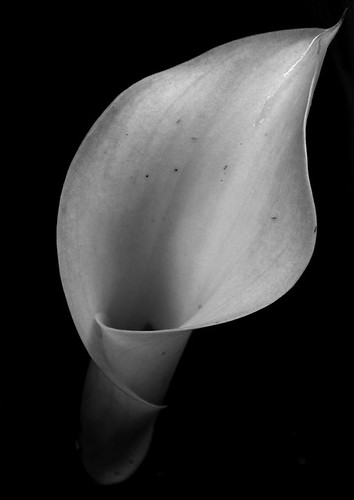 black and white calla lily | by Erin1225
