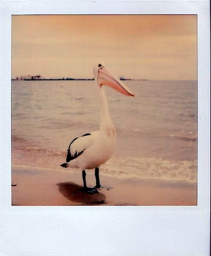 Pelican in Busselton; WA | by polapix