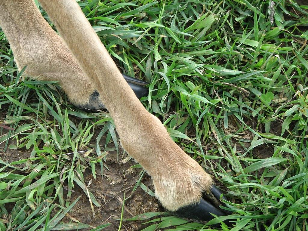 Pronghorn Antelope 08 Hooves Pronghorn Antelope Hooves