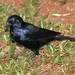 Shiny Cowbird, Molothrus bonariensis