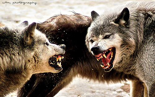 Wolves in Action | by iam_photography
