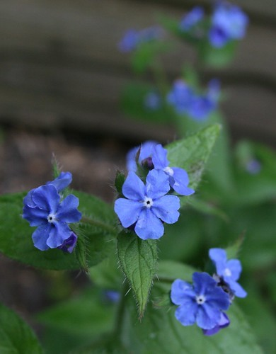 Green Alkanet This Tall Weed With Tiny Bright Blue
