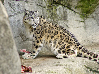 Snow leopard eating | by Tambako the Jaguar