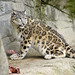 Snow leopard eating