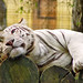 White tiger relaxing on the logs
