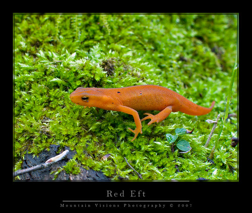 Red Eft | by Mountain Visions