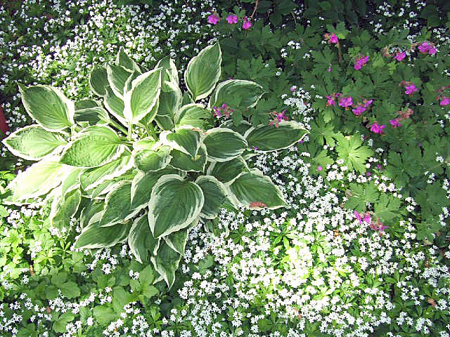 Hosta Cranesbill and Sweet Woodruff From my set entitled Flickr