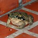 060402 toad IB.jpg