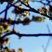 Cherry Blossoms 4 - april, 4th 2007