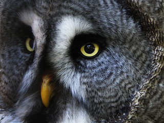 Great Grey Owl or Lapland Owl | by hans s