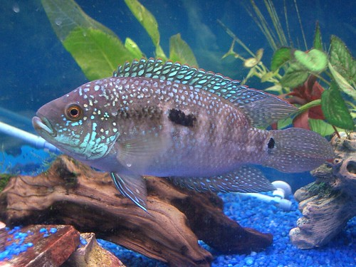 Female jack dempsey not as large as the male but for Jack dempsy fish
