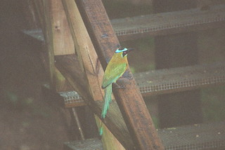 Motmot at Macal River Jungle Camp, Belize | by hopefulist