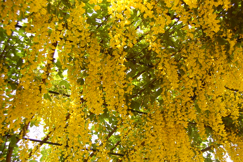 Laburnum anagyroides (Leguminosae - Papilonoideae) 2 | by Tim Waters