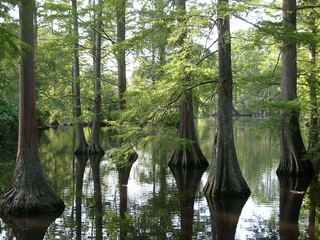 Cypress swamp | by I am not led, I lead