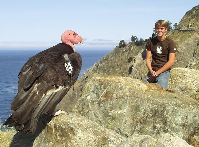 California Condor Big Sur Condor Too Close To