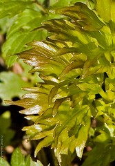 closeup of new growth on lovage | by kitchenmage