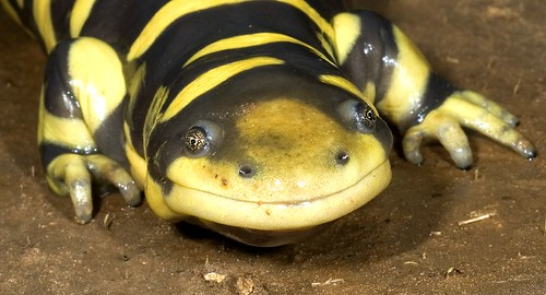 Smiling Tiger Salamander | by The Horned Jack Lizard
