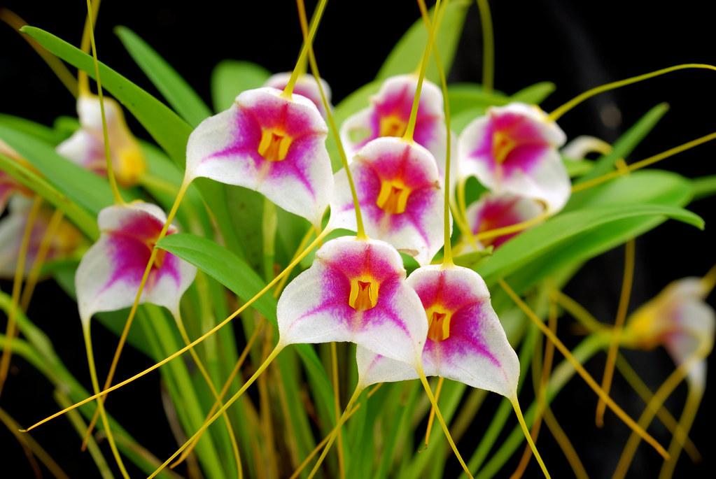 Орхидея масдеваллия: уход и размножение.