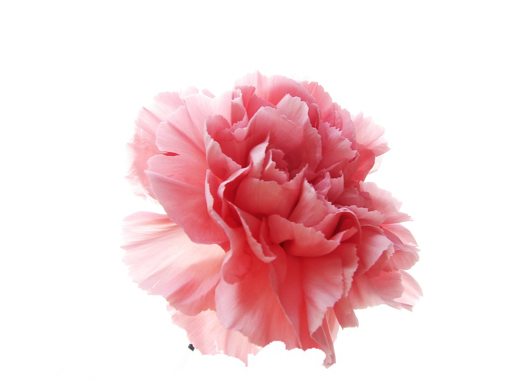 carnation single parents 5 tips to encourage single moms this mother's day single parents by danette this includes a read rose or carnation as they enter.