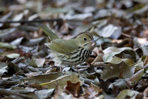 Ovenbird | by Christopher L Wood