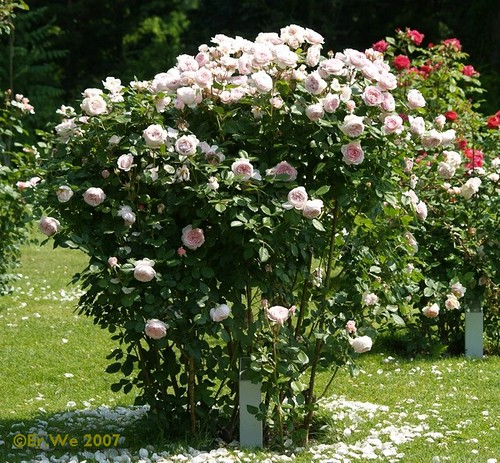 Rosarium Baden 5 Austin Geoff Hamilton Habitus 2007 0