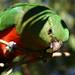 King Parrot at the Glenorie Wildlife Refuge