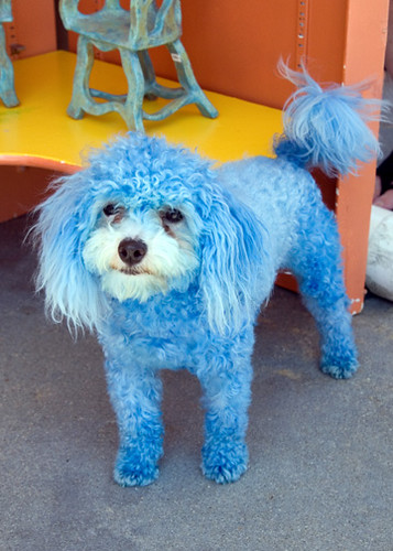 Blue Dyed Standard Poodle Blue Dog | Jill...