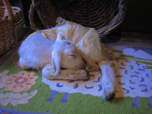 Snickers asleep on the sheep rug - April 2007 | by leaping_lambs