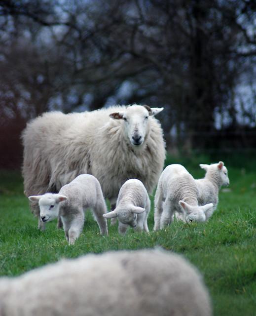 Sheep   by Oh Georgie