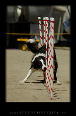 Greasy Fast Weaving (Dog Agility) | by Mountain Visions