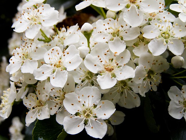 White Pyracantha flowers | View On Black | Chris Beckett ...