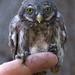 Varpuspöllön poikanen