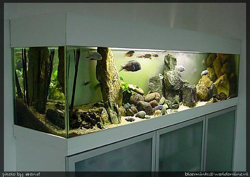 aquarium malawi view at my malawi tank the tank is placed flickr. Black Bedroom Furniture Sets. Home Design Ideas